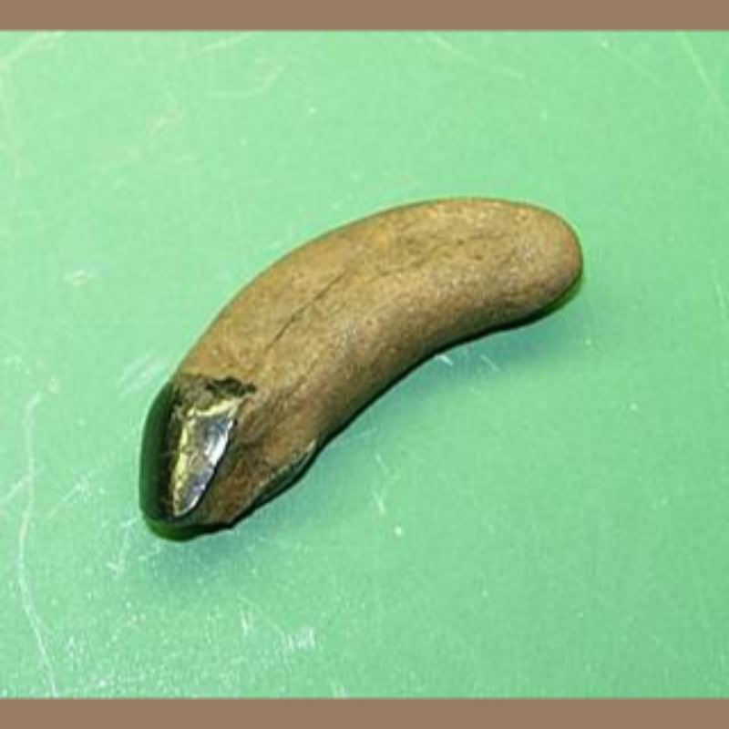 JAGUAR INCISOR FOSSIL | Fossils & Artifacts for Sale | Paleo Enterprises | Fossils & Artifacts for Sale