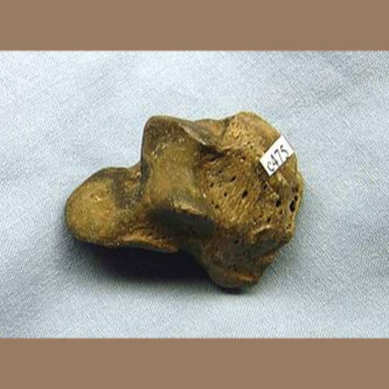 Smilodon Fatalis Scapholunar Fossil | Fossils & Artifacts for Sale | Paleo Enterprises | Fossils & Artifacts for Sale
