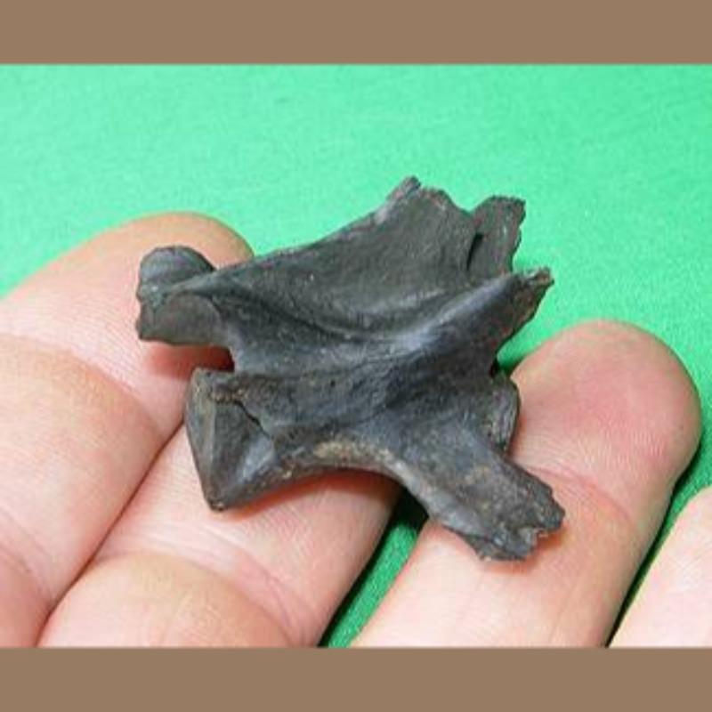Bobcat Vertebra Fossil | Fossils & Artifacts for Sale | Paleo Enterprises | Fossils & Artifacts for Sale