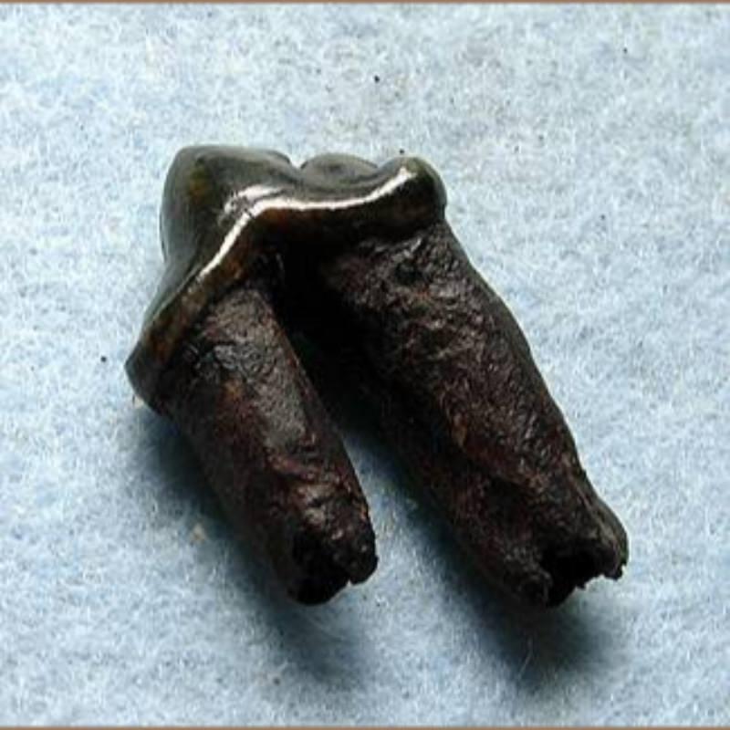 Jaguar Premolar | Fossils & Artifacts for Sale | Paleo Enterprises | Fossils & Artifacts for Sale