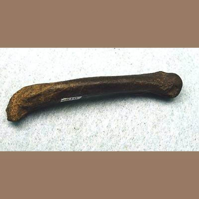 Panther Phalange | Fossils & Artifacts for Sale | Paleo Enterprises | Fossils & Artifacts for Sale