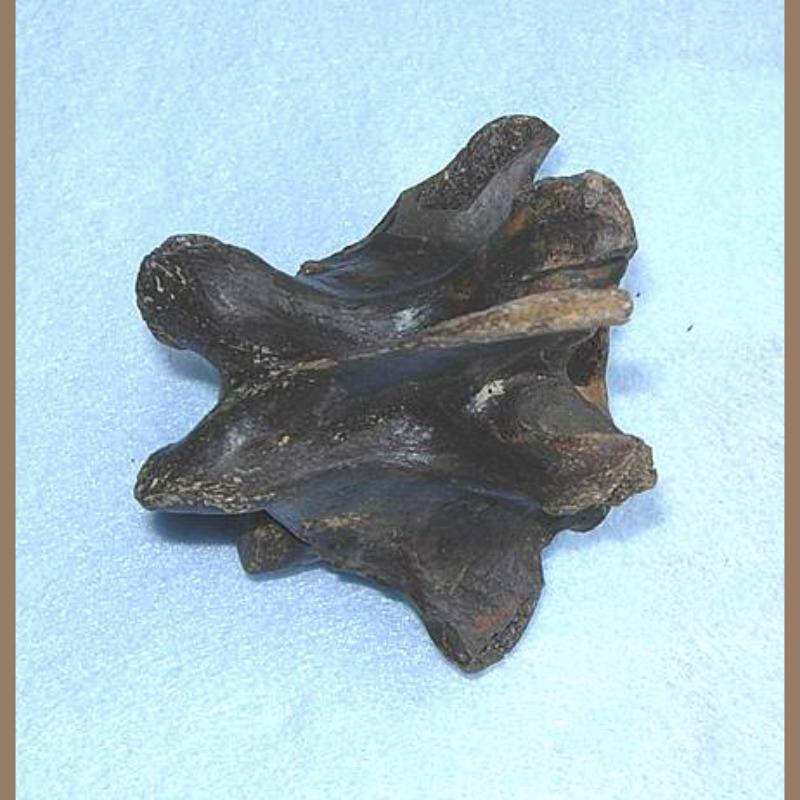 Smilodon fatalis vertebra | Fossils & Artifacts for Sale | Paleo Enterprises | Fossils & Artifacts for Sale