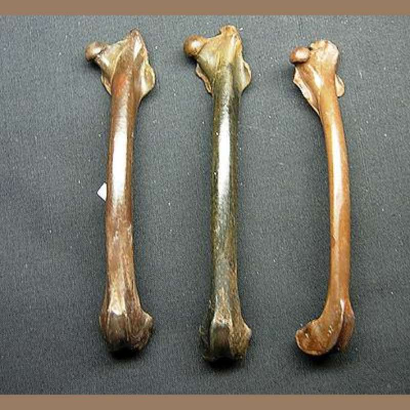 Cotton Tail Rabbit Femur Fossil | Fossils & Artifacts for Sale | Paleo Enterprises | Fossils & Artifacts for Sale