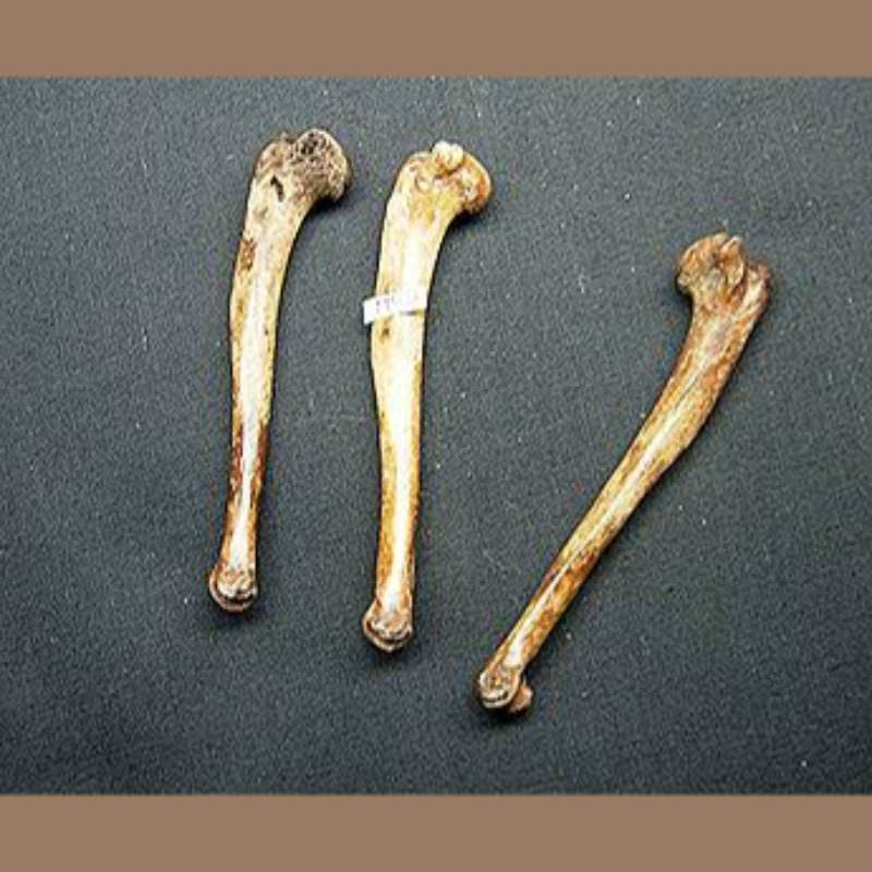 Cotton Tail Rabbit Humerus  Fossil | Fossils & Artifacts for Sale | Paleo Enterprises | Fossils & Artifacts for Sale