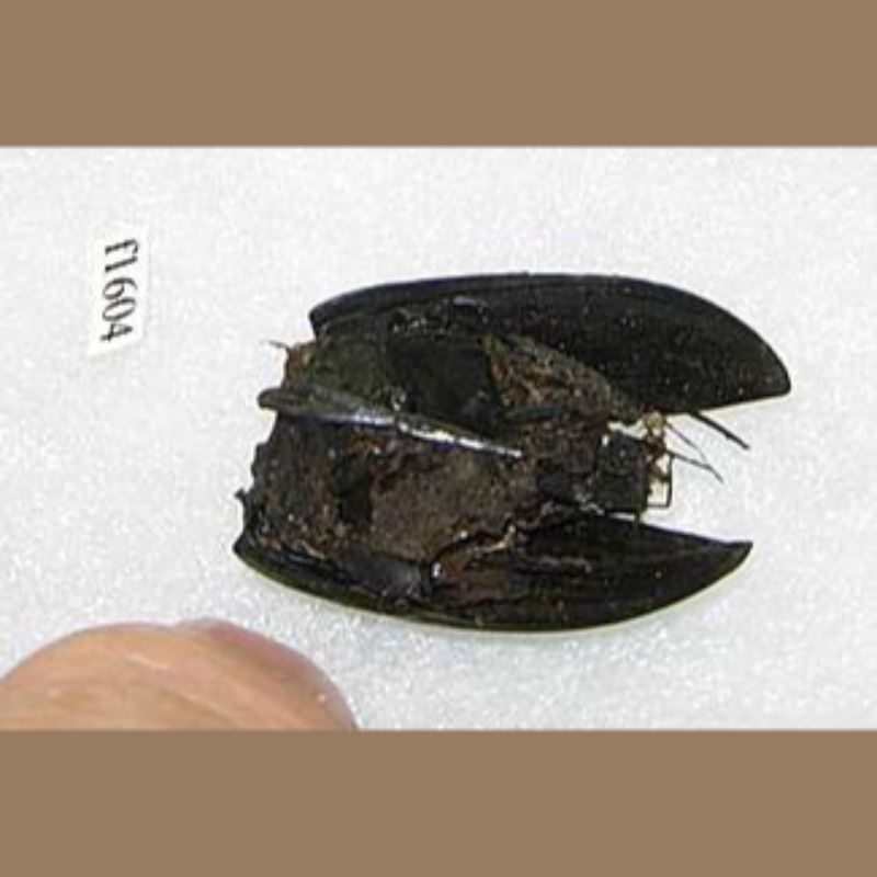 La Brea Water Beetle | Fossils & Artifacts for Sale | Paleo Enterprises | Fossils & Artifacts for Sale
