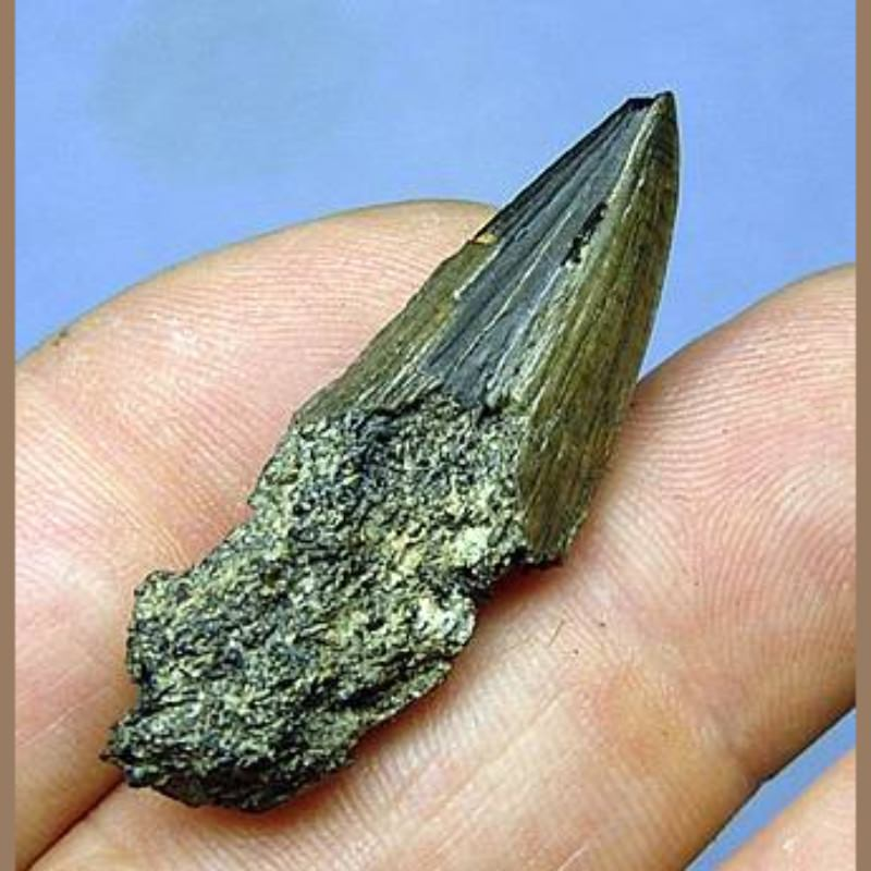 Odontocete Whale Fossil | Fossils & Artifacts for Sale | Paleo Enterprises | Fossils & Artifacts for Sale