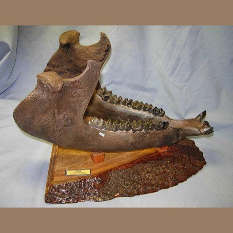 Tapir Jaw Fossil | Fossils & Artifacts for Sale | Paleo Enterprises | Fossils & Artifacts for Sale