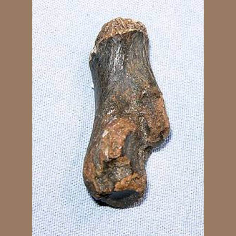 Raccoon (?) Calcaneum Fossil | Fossils & Artifacts for Sale | Paleo Enterprises | Fossils & Artifacts for Sale