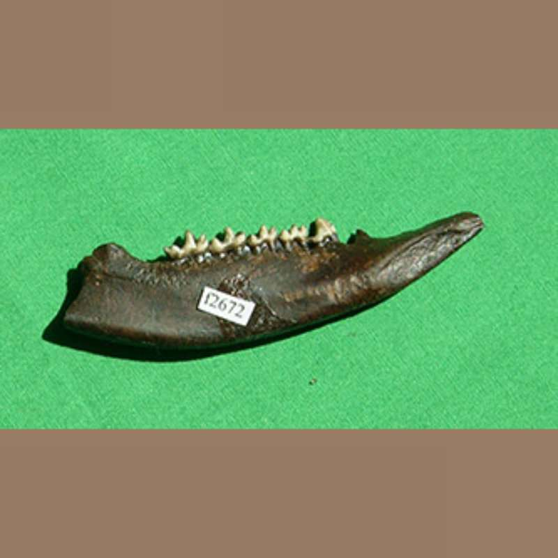 Opossom Mandible  Fossil | Fossils & Artifacts for Sale | Paleo Enterprises | Fossils & Artifacts for Sale
