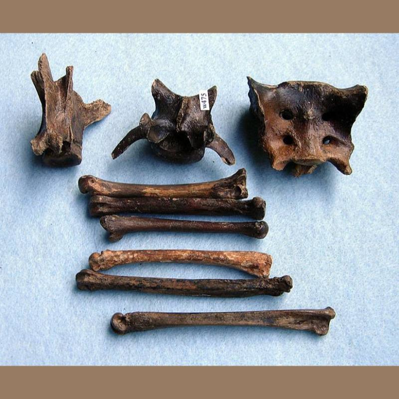 Gray FoxHumerus Fossil | Fossils & Artifacts for Sale | Paleo Enterprises | Fossils & Artifacts for Sale