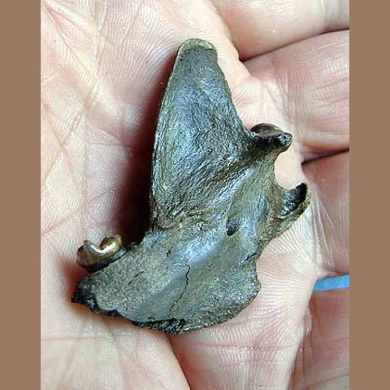 Gray Fox Fossil | Fossils & Artifacts for Sale | Paleo Enterprises | Fossils & Artifacts for Sale