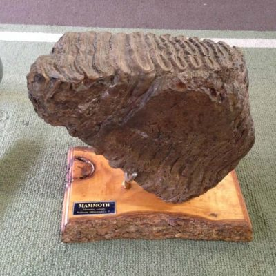 Wholly Mammoth Tooth Fossil