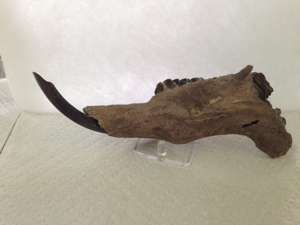 Capybara Jaw Bone Fossil | Fossils & Artifacts for Sale | Paleo Enterprises | Fossils & Artifacts for Sale