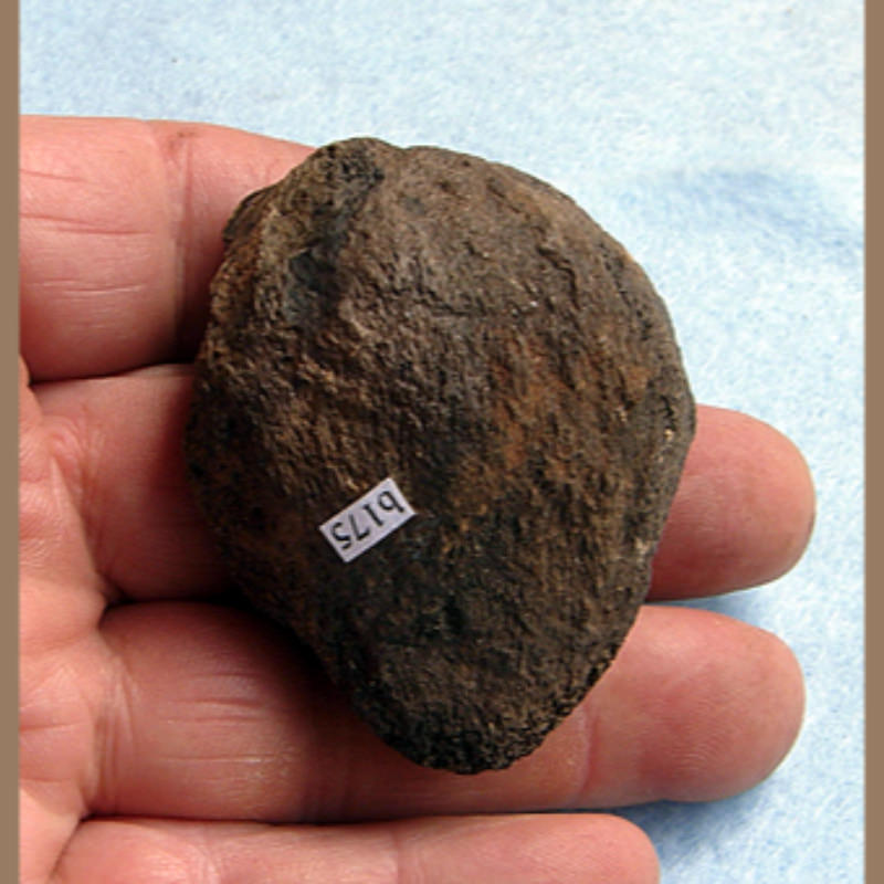 Bear PatellaFossil | Fossils & Artifacts for Sale | Paleo Enterprises | Fossils & Artifacts for Sale