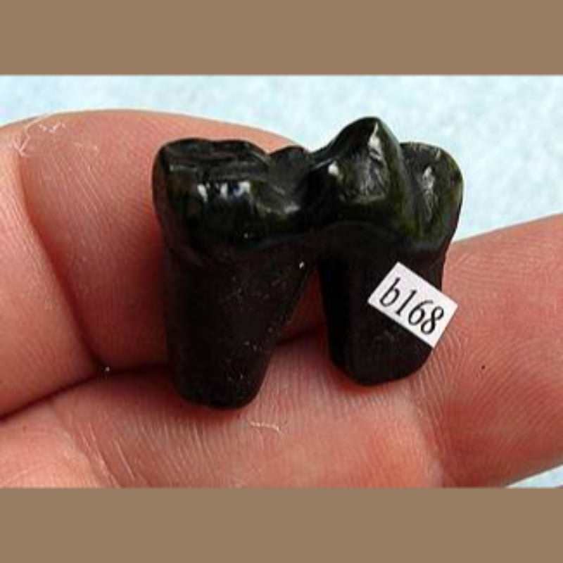 Black Bear Tooth Fossil | Fossils & Artifacts for Sale | Paleo Enterprises | Fossils & Artifacts for Sale