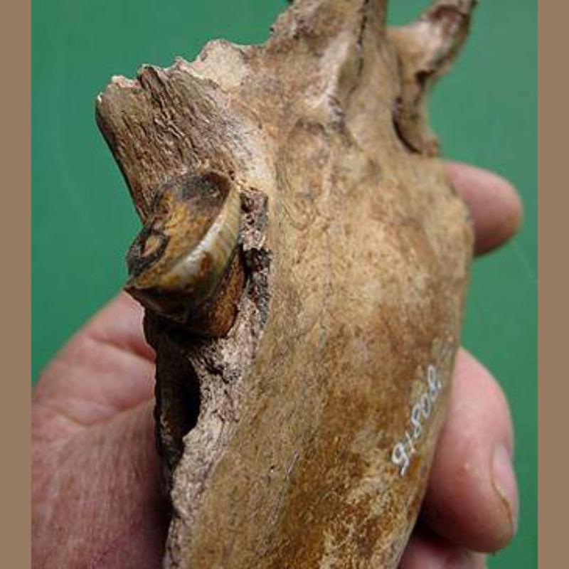 Spectacled Bear Mandible Fossil | Fossils & Artifacts for Sale | Paleo Enterprises | Fossils & Artifacts for Sale