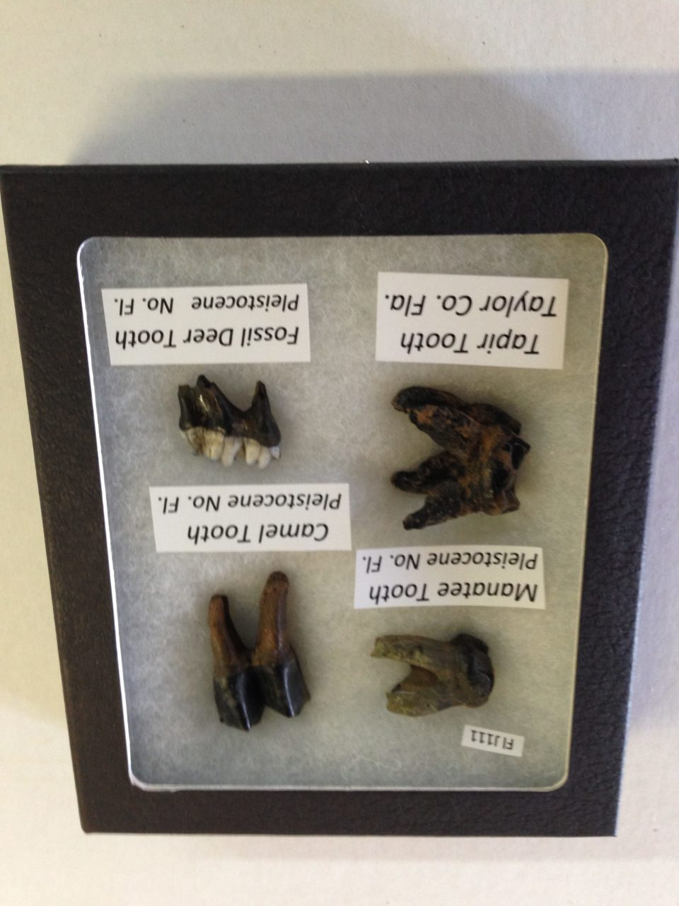 Collection of Florida Fossil Teeth | Fossils & Artifacts for Sale | Paleo Enterprises | Fossils & Artifacts for Sale