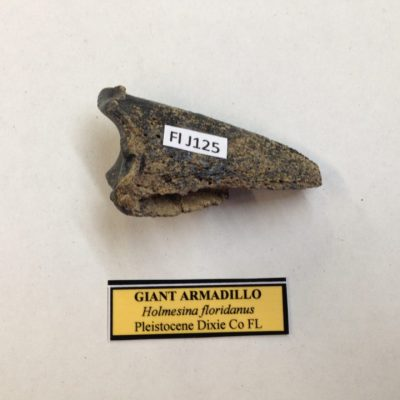 Giant Armadillo Toe Bone Fossil