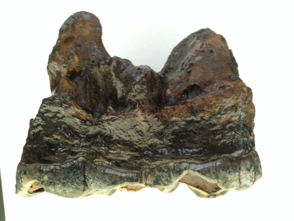 Mastodon Tooth Fossil / Gomphothere | Fossils & Artifacts for Sale | Paleo Enterprises | Fossils & Artifacts for Sale