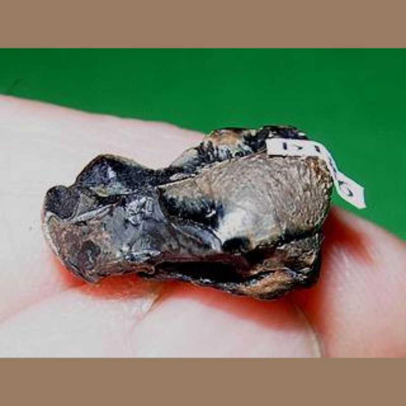 Bear Molar Fossil | Fossils & Artifacts for Sale | Paleo Enterprises | Fossils & Artifacts for Sale