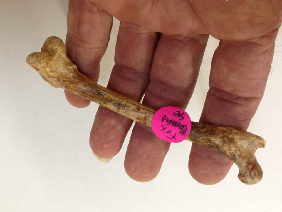Fossil Fox Femur North Florida | Fossils & Artifacts for Sale | Paleo Enterprises | Fossils & Artifacts for Sale