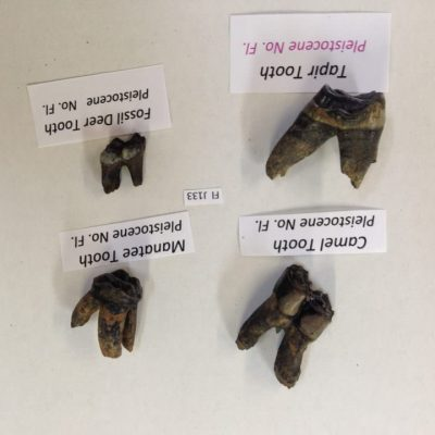 Fossil Teeth Florida Deer/Tapir/Manatee/Camel Four Teeth