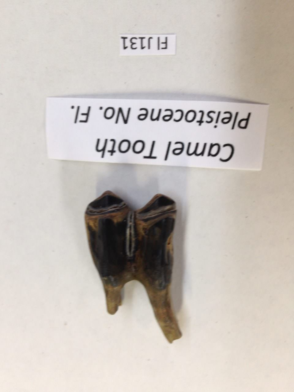 Four Fossil Teeth 1) Tapir 1) Camel 1) Manatee 1) Deer From Florida | Fossils & Artifacts for Sale | Paleo Enterprises | Fossils & Artifacts for Sale