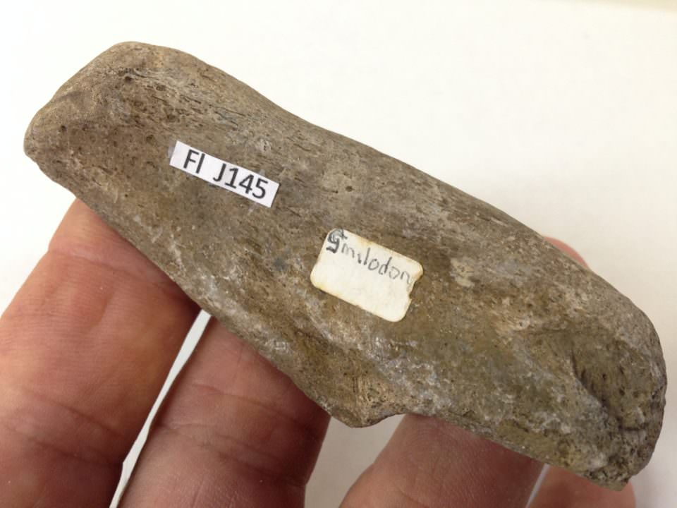 Smilodon Calcaneum Fossil