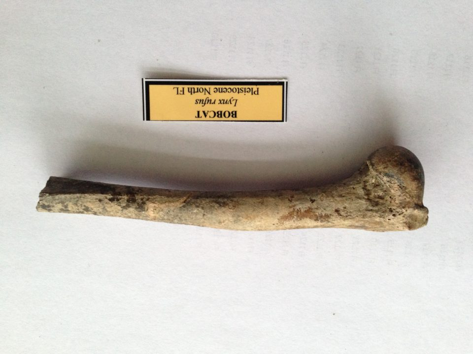Bobcat Fossil Partial Femur | Fossils & Artifacts for Sale | Paleo Enterprises | Fossils & Artifacts for Sale
