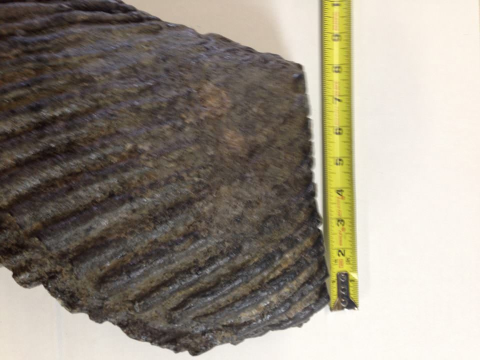 Huge Woolly Mammoth Tooth Fossil | Fossils & Artifacts for Sale | Paleo Enterprises | Fossils & Artifacts for Sale