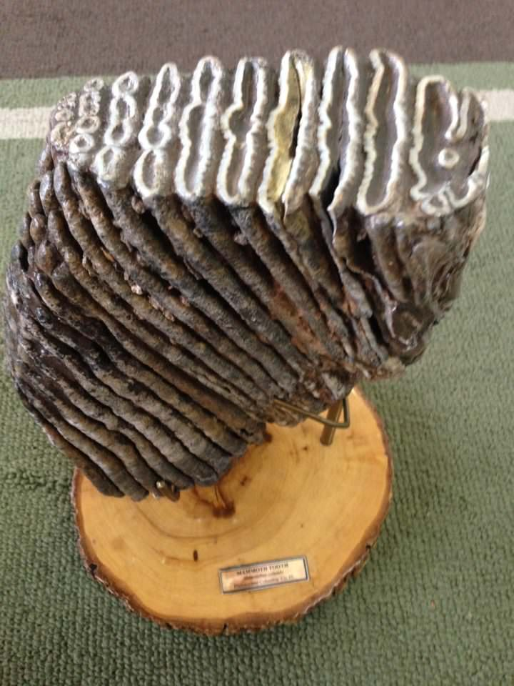 Woolly Mammoth Tooth Fossil | Fossils & Artifacts for Sale | Paleo Enterprises | Fossils & Artifacts for Sale