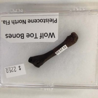 Wolf Toe Bone Fossil