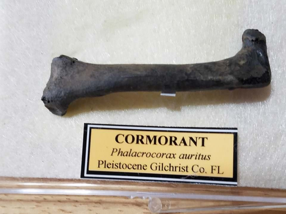 Double Crested Cormorant Fossil   Fossils & Artifacts for Sale   Paleo Enterprises   Fossils & Artifacts for Sale