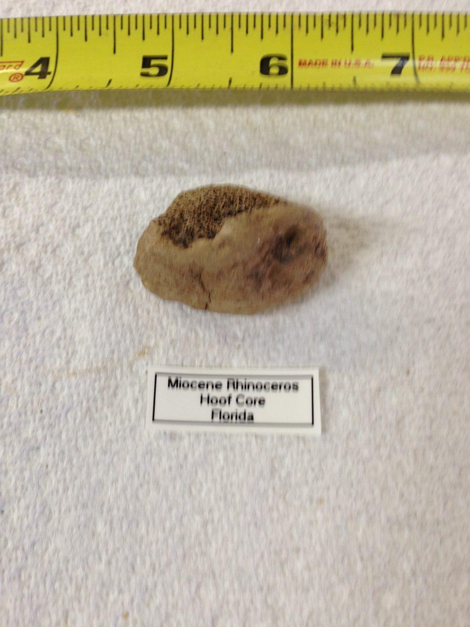 Rhinoceros Menoceras Barbouri Hoof Core Fossil | Fossils & Artifacts for Sale | Paleo Enterprises | Fossils & Artifacts for Sale