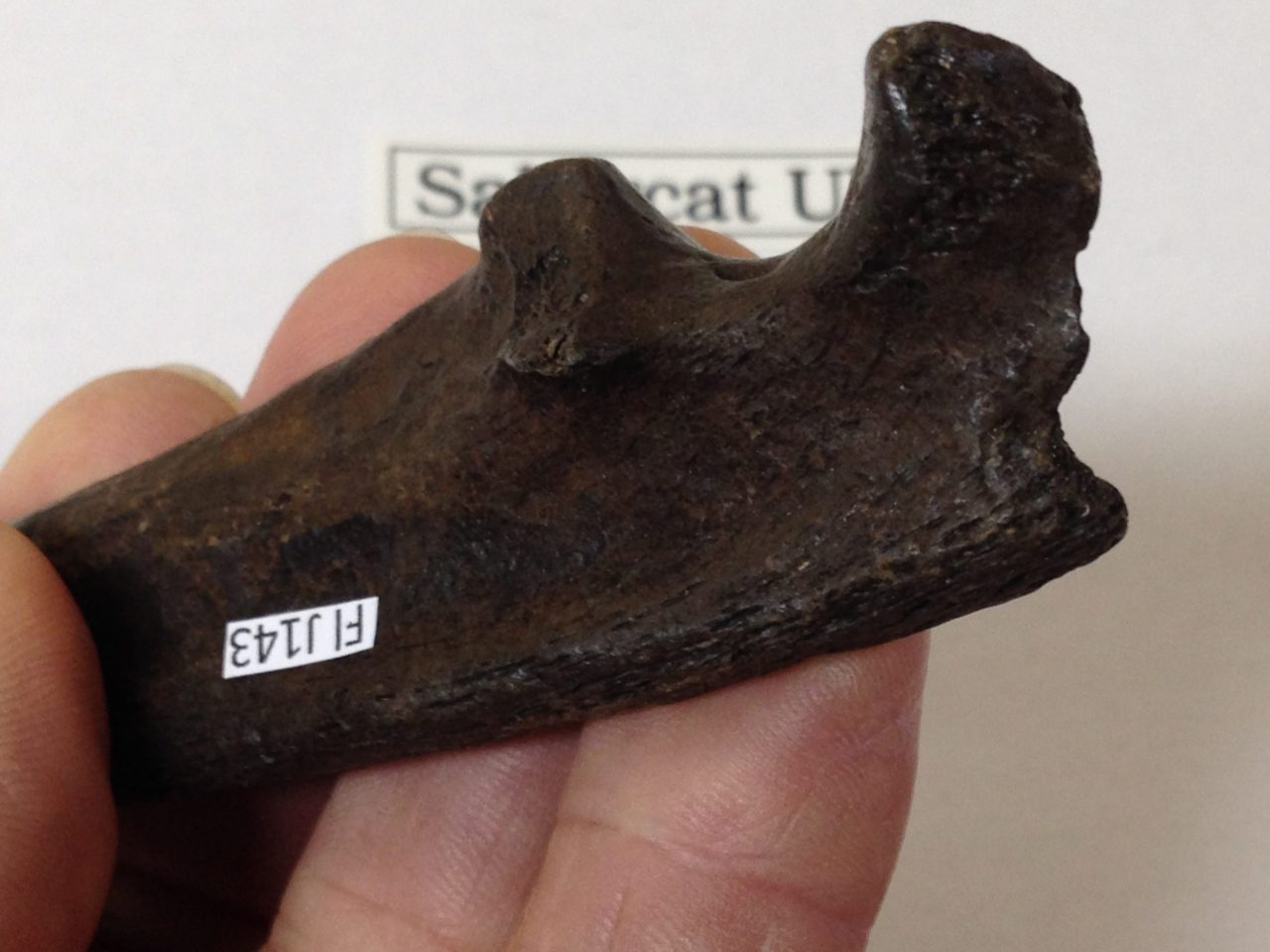"""Fossil Sabercat Ulna 7"""" near complete 