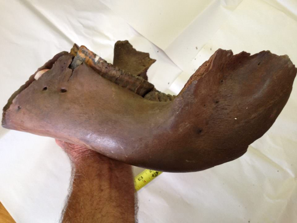 Juvenile Wholly Mammoth Jaw Fossil Very Rare | Fossils & Artifacts for Sale | Paleo Enterprises | Fossils & Artifacts for Sale