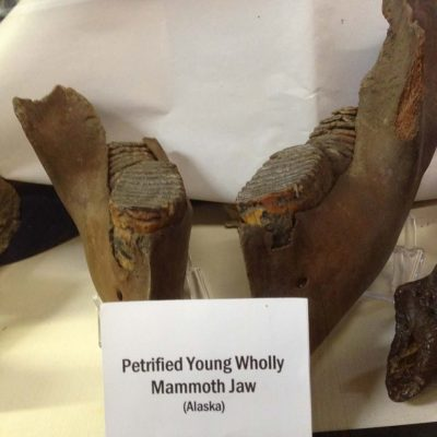 Juvenile Wholly Mammoth Jaw Fossil Very Rare