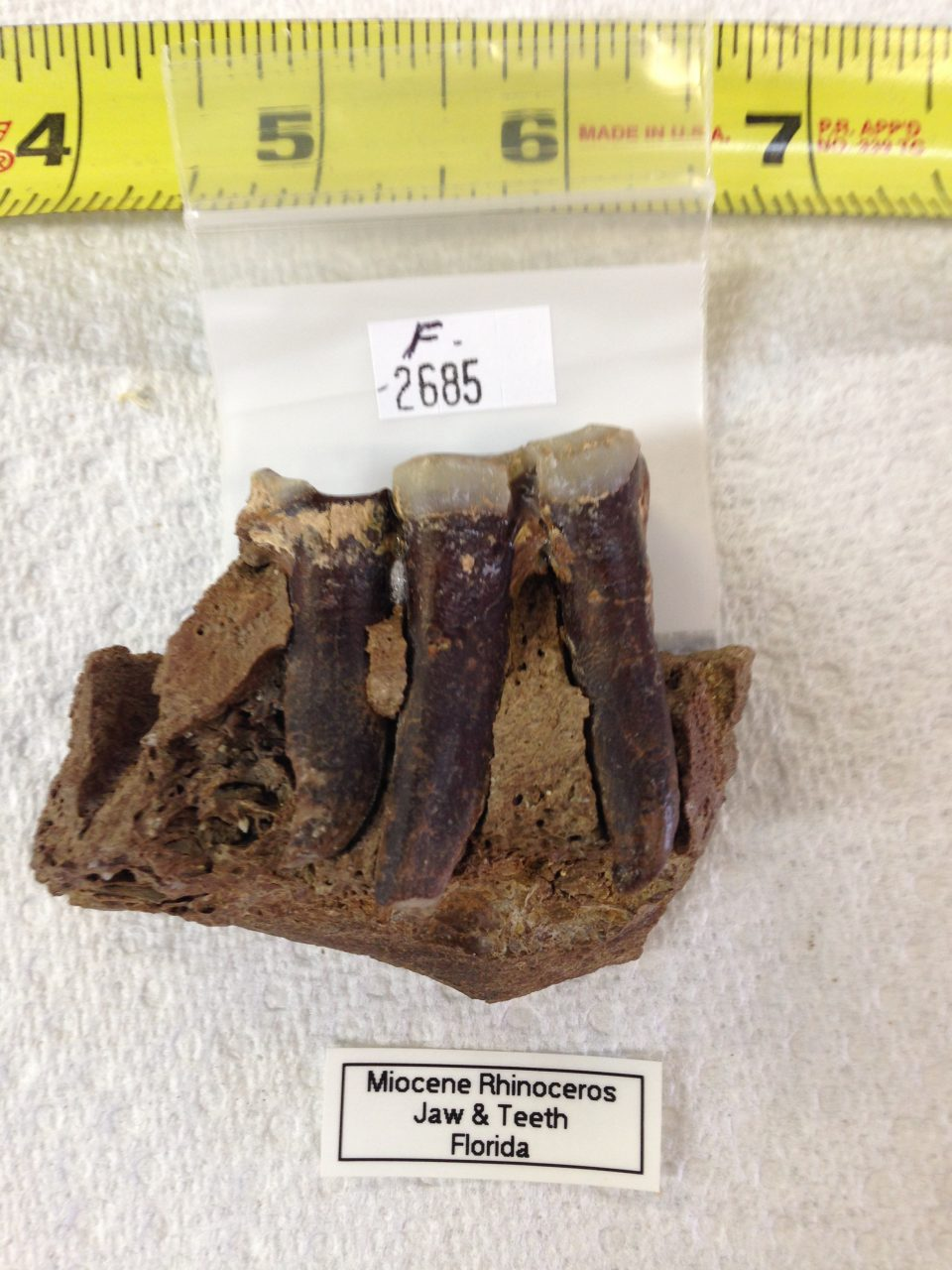 Rhinoceros Jaw Section with 1 1/2 Teeth Menoceras from very Animal from Florida | Fossils & Artifacts for Sale | Paleo Enterprises | Fossils & Artifacts for Sale