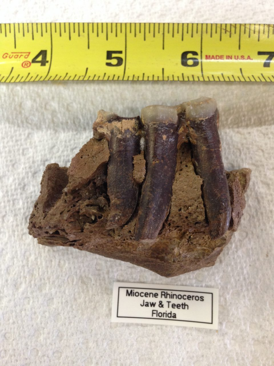 Rhinoceros Jaw Section with 1 1/2 Teeth Menoceras from very Animal from Florida   Fossils & Artifacts for Sale   Paleo Enterprises   Fossils & Artifacts for Sale