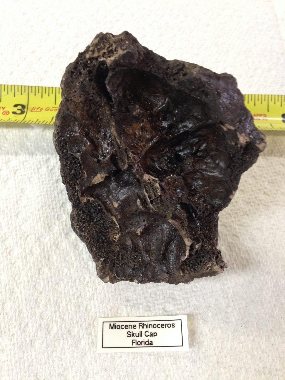 Rhinoceros Menoceras barbouri Skull Cap | Fossils & Artifacts for Sale | Paleo Enterprises | Fossils & Artifacts for Sale