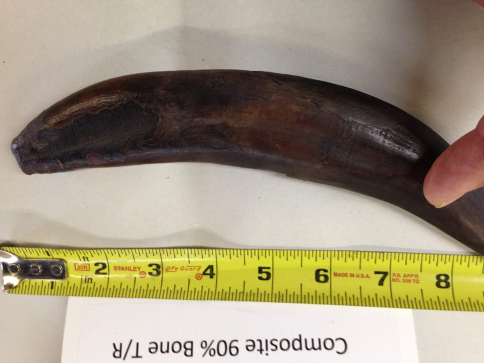 Saber Tooth Tiger Tooth Fossil | Fossils & Artifacts for Sale | Paleo Enterprises | Fossils & Artifacts for Sale