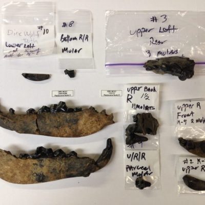 Dire Wolf Jaw & Teeth Wow 23 teeth all from same animal Very Rare Fossil