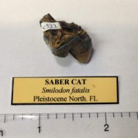 Saber Cat Partial Molar Smilodon   Fossils & Artifacts for Sale   Paleo Enterprises   Fossils & Artifacts for Sale