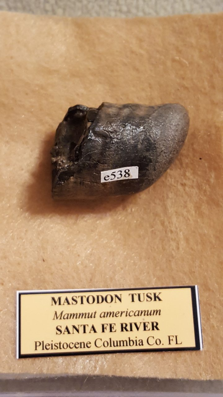 Mastodon Tusk | Fossils & Artifacts for Sale | Paleo Enterprises | Fossils & Artifacts for Sale