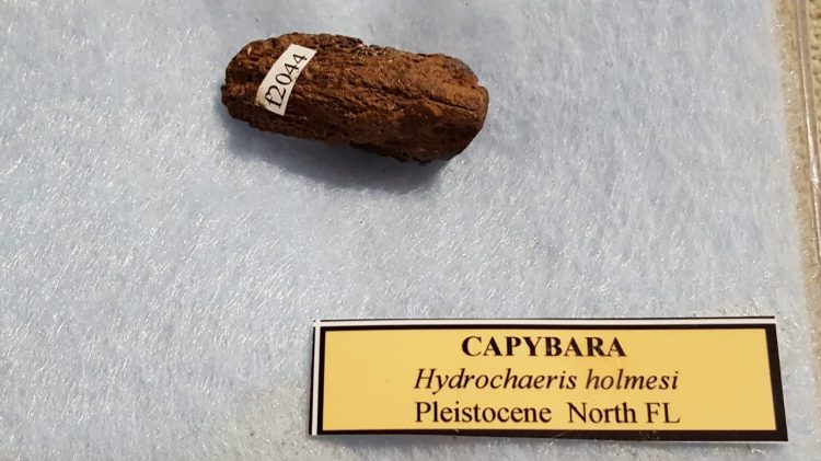 Capybara | Fossils & Artifacts for Sale | Paleo Enterprises | Fossils & Artifacts for Sale
