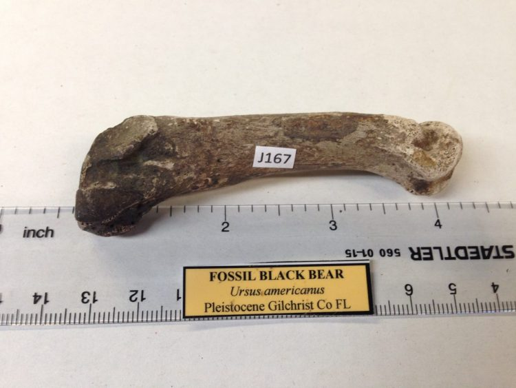 Fossil Black Bear Toe Bone / Tarsal / Carpal Florida | Fossils & Artifacts for Sale | Paleo Enterprises | Fossils & Artifacts for Sale