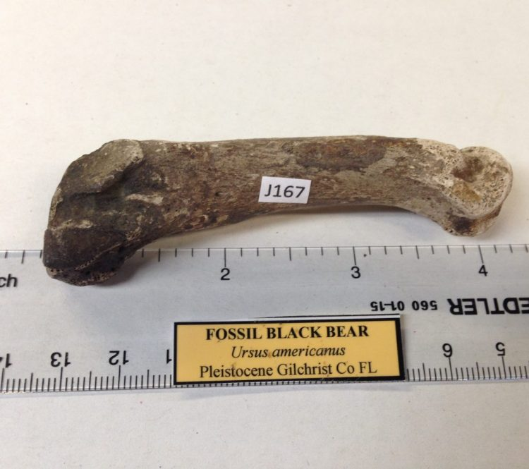 Fossil Black Bear Toe Bone / Tarsal / Carpal Florida | Fossils & Artifacts for Sale | Paleo Enterprises | Fossils & Artifacts for Sale