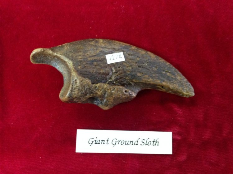 """Giant Sloth Claw Fossil 3.5"""" 