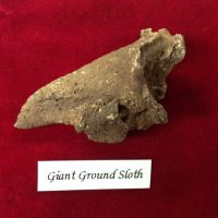 Giant Sloth Claw Fossil | Fossils & Artifacts for Sale | Paleo Enterprises | Fossils & Artifacts for Sale