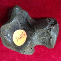 Smilodon  / Sabercat Astragalar Fossil Florida | Fossils & Artifacts for Sale | Paleo Enterprises | Fossils & Artifacts for Sale